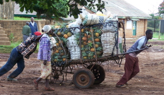Kenyans moving cartloads of pineapples to market